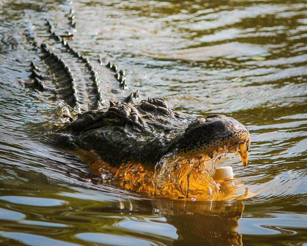 Alligator eating marshmallow