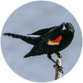 Red Winged Blackbird sits atop cattail at Huntington Beach State Park