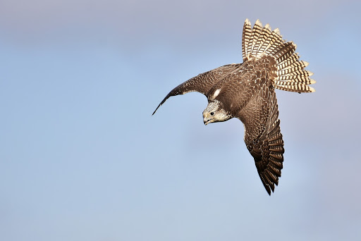 Falcon diving on prey