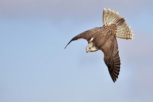 Falcon diving on prey
