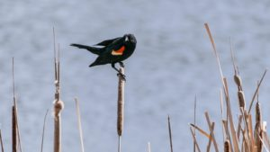 Red wing blackbird perched on cattail at Huntington Beach State Park