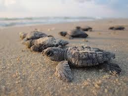 sea turtles hatchlings