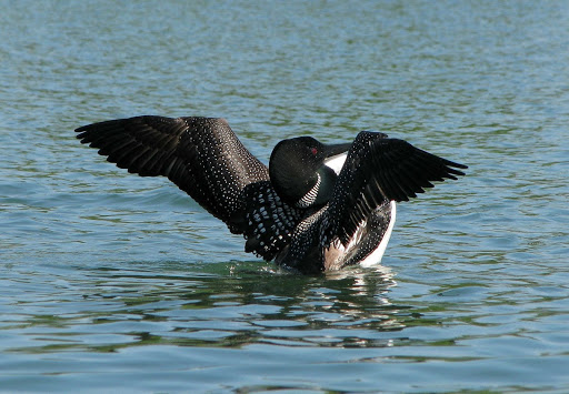 Loon stretches at Huntington Beach State Park