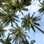 palm tress outlined by blue sky