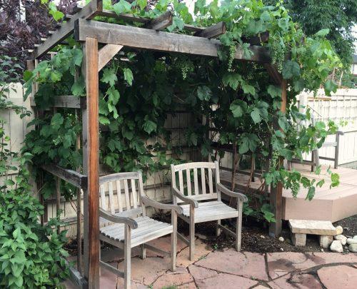 backyard arbor covered in grape vines